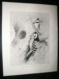 Frohawk 1898 Antique Bird Print. Lesser Spotted Woodpecker